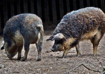 Wollschweine Wutz & Udo
